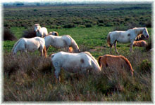 Photo : Chevaux de camargue