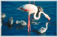 Photo : Flamants rose